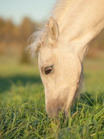portrait of grazing welsh  pony  foal . Stock Photo