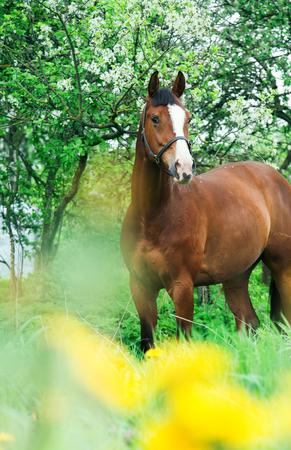 bay Trakehner horse near blossom tree Stock Photo