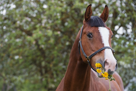 portrait of bay  feeding horse . spring