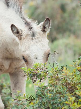 portrait of half-wild cream foal. Israel