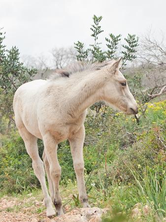 half-wild cream foal. Israel