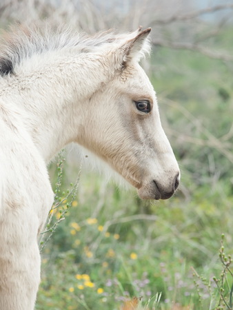 portrait of half-wild cream foal. Israel