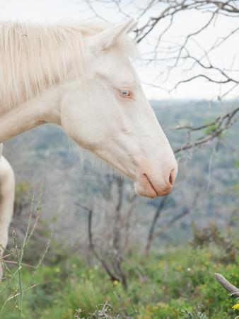 portrait of albino half-wild horse. Israel