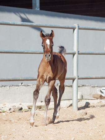 running arabian little foal. Israel Stock Photo