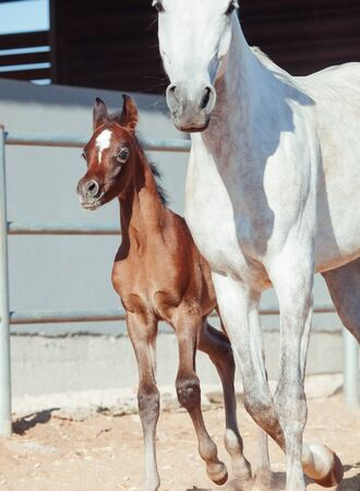 running nose: running arabian little foal with mom Stock Photo