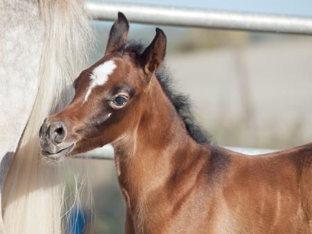 portrait of arabian little foal with mom. Israel Stock Photo