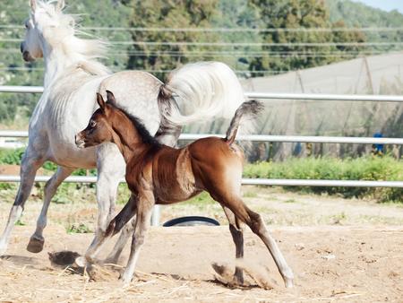 running arabian little foal with mom Stock Photo
