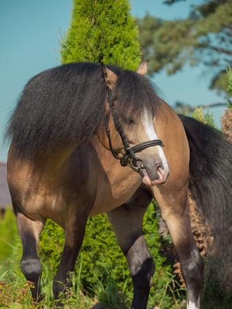 buckskin welsh pony in action