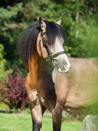 portrait of buckskin welsh pony