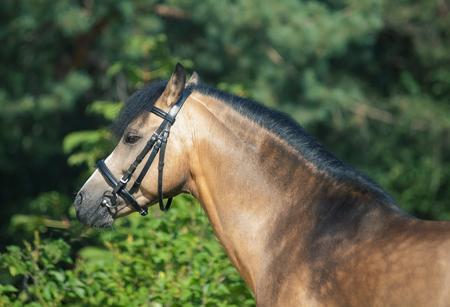 buckskin welsh pony posing at trees background Stock Photo