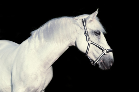gelding: portrait of Lipizzaner horse at black background