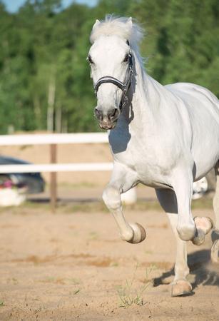 running Lipizzaner horse in paddock
