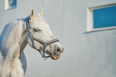 gelding: romantic portrait of  Lipizzaner horse at white wall background