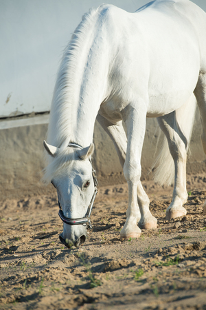 lipizzaner horse in paddock Reklamní fotografie - 83881853