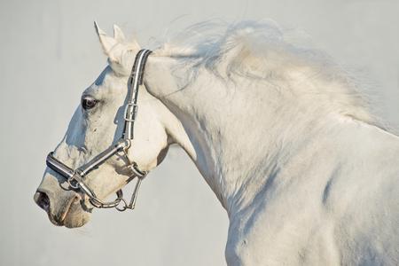 portrait of running Lipizzaner horse Reklamní fotografie - 83881856