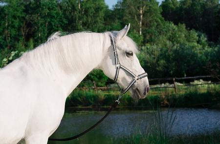 Lipizzaner horse at lake Reklamní fotografie - 83917117