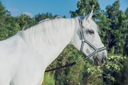 Lipizzaner horse Reklamní fotografie - 83917126