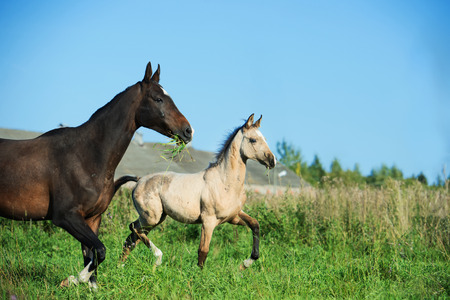 running purebred akhal-teke foal with mom on field