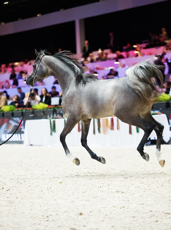 Arabian horse world championship, Nord Villepente in Paris. PARI Editorial
