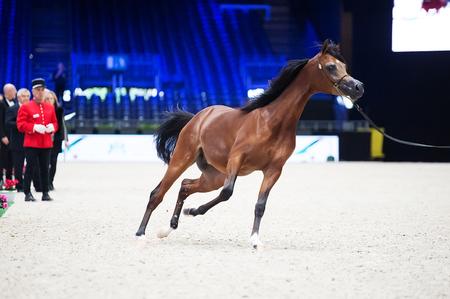 Arabian horse world championship, Nord Villepente in Paris. PARIS CITY, FRANCE- NOVEMBER 24-26: the best purebred arabian horses compete in world championship on november 25, 2017 in Paris city, France