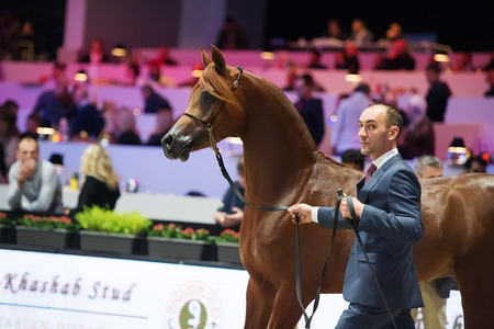 Arabian horse world championship, Nord Villepente in Paris. PARIS CITY, FRANCE- NOVEMBER 24-26: the best purebred arabian horses compete in world championship on november 25, 2017 in Paris city, France