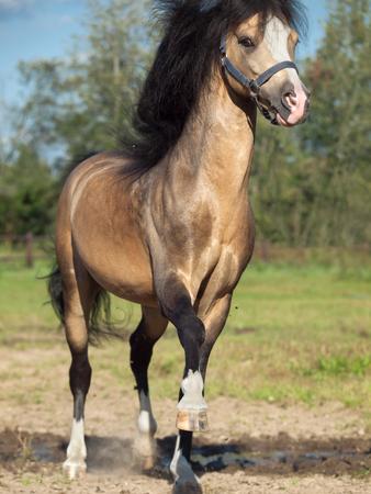 playing buckskin welsh pony in paddock