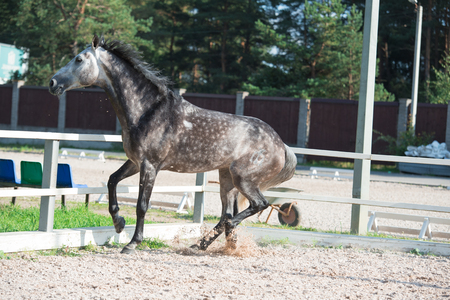 Running and playing   grey sportive horse in manage