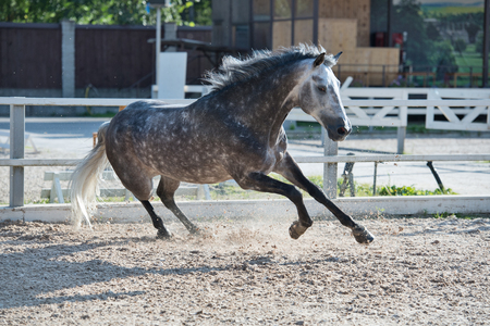Running and playing   grey sportive horse in manage Reklamní fotografie - 108449497