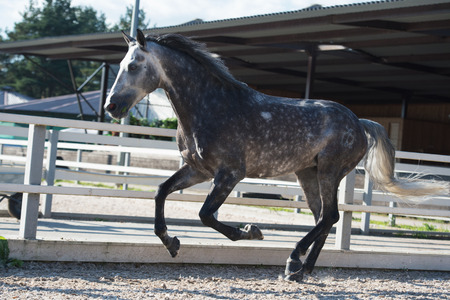 Running  grey sportive horse in manage