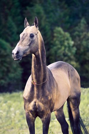 portrait of purebred akhalteke stallion at forest background Stock fotó