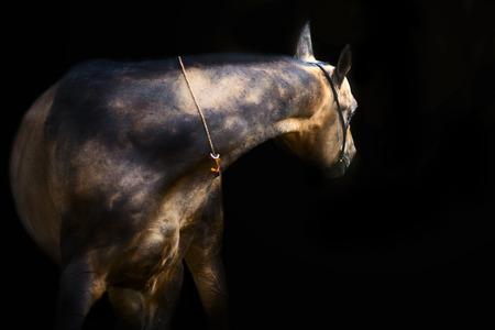 portrait of  purebred akhalteke stallion at black background