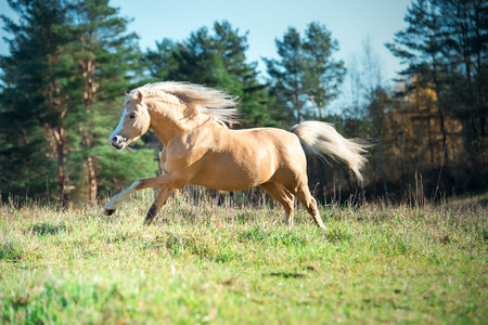 running palomino welsh pony with long  posing at freedom