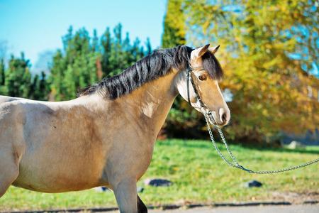 portrait of scaring  light-buckskin welsh pony