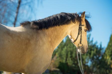 portrait of light-buckskin welsh pony Stock fotó