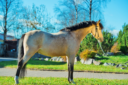 exterior of light- buckskin welsh pony Stock fotó