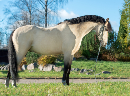 exterior of light-buckskin welsh pony