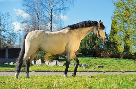 exterior of light-buckskin welsh pony