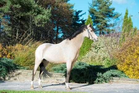 exterior of light-buckskin welsh pony  posing in nice place