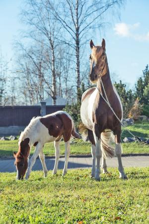 beautiful   chestnut piebald pony  foal  grazing  with mom