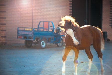 chestnut  pony  foal  walking against stable