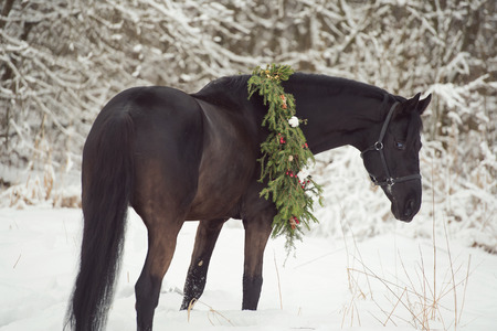 black horse with christmas wreath. winter