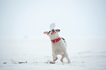white staffordshire terrier  playing at  frozen gulf. winter
