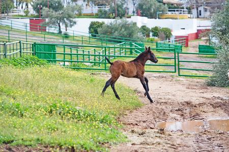 running spanish foal in paddock. Andalusia. Spain