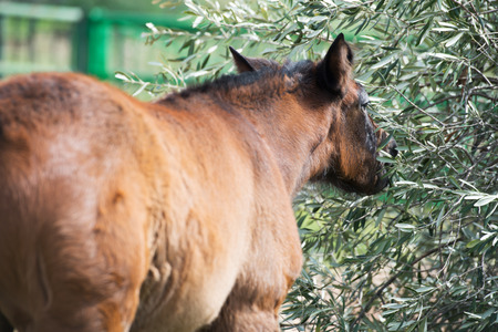 portrait of purebred spanish foal posing in olive garden. Andalusia. Spain Stockfoto