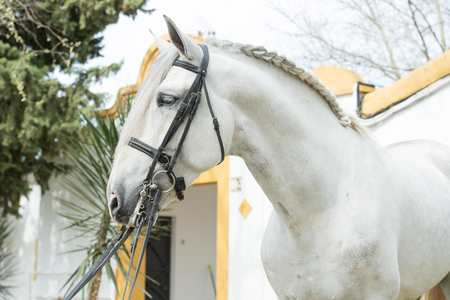 portrait of purebred Andalusian stallion in dressage bridle Imagens