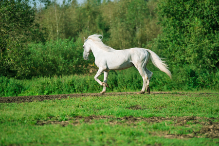 running white beautiful Orlov trotter stallion at freedom. spring season Stock Photo