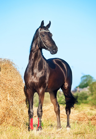 black Trakehner stallion in meadow Banque d'images