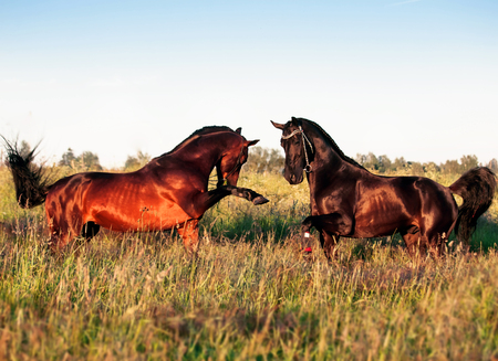 couple of Trakehner stallions in meadow