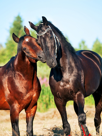 Two Trakehner stallions in meadow Imagens