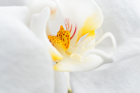 Beautiful White Orchid Flower. extrime macro shot